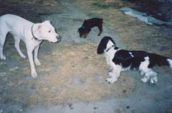Dogs argentins, gentils toutous.